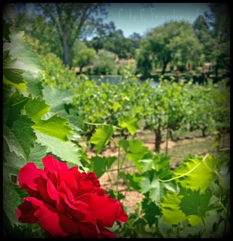 Red rose Youngs Vineyard 2013 _02